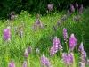 umgebung-laudenbach-orchidee-imgp3108-ps